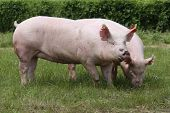 Pink Growing Pigs Grazing On Rural Pig Farm poster