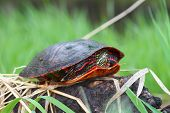 foto of winnebago  - Painted Turtle  - JPG