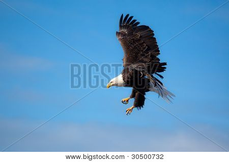 Eagle Flying Wings Spread