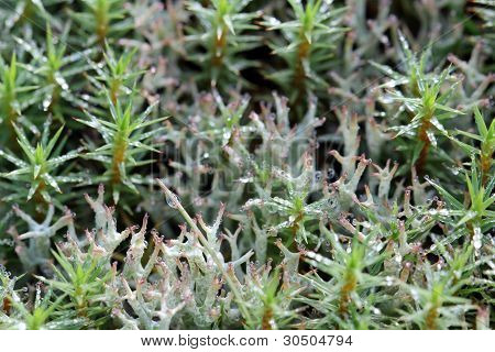 Waterdrops on Polytrichum Moss and Cladonia Lichen