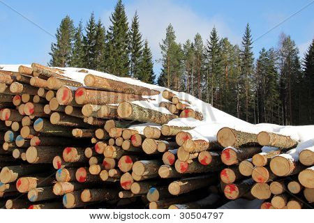 Pile of Softwood Logs in Spruce Forest