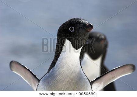 Adelie Penguin(s) hautnah