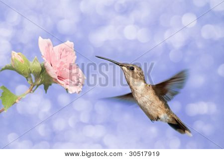 Dreamy image of a Hummingbird feeding on a pale pink Hibiscus flower against purple background