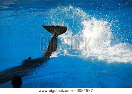 Dolphin Splashing