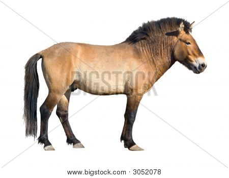 Przewalski Wild Horse Cutout
