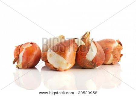 Several tulip flower bulbs isolated over white background
