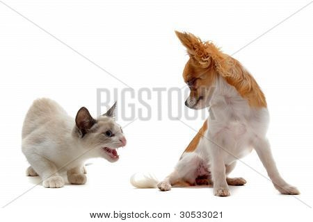 Aggressive Cat And Chihuahua