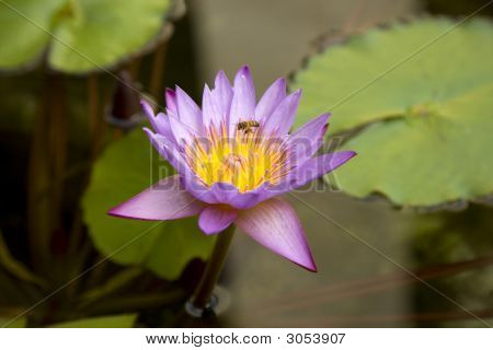 Waterlilly With Bee Making A Landing