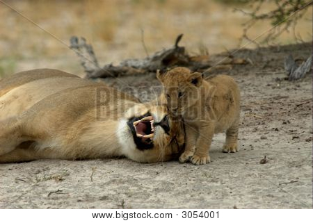 Lions Mother And Child Playing Games