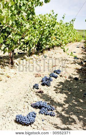vineyard with blue grapes, La Rioja, Spain