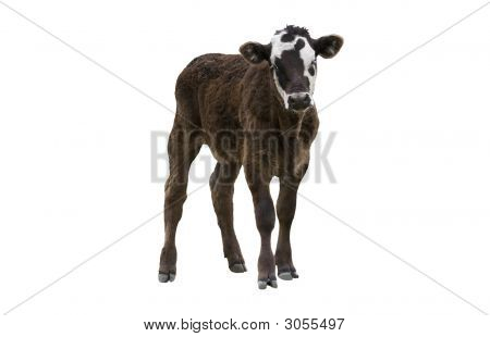 Calf Or Young Cow