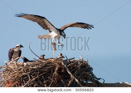 Osprey Returning To Nest With A Fish