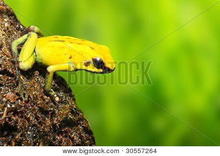 The frog (Dendrobates) - natural background.