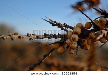 Busch Früchte
