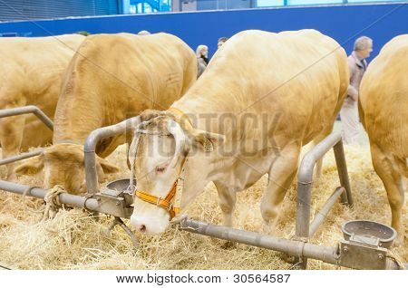 Paris - February 26: Blonde Of Aquitaine Cow At The Paris International Agricultural Show 2012 On Fe
