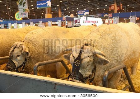 Paris - February 26: Bull At The Paris International Agricultural Show 2012 On February 26, 2012 In