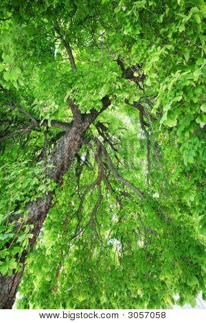 Stately Old Chestnut Tree