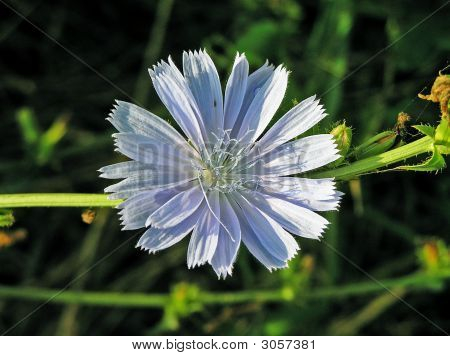 Chicory Is Wild (Cichorium Intubus L.)