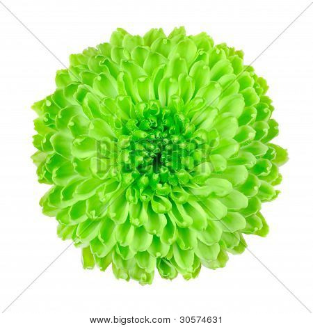 Lime Green Pom Pom Flower Isolated On White