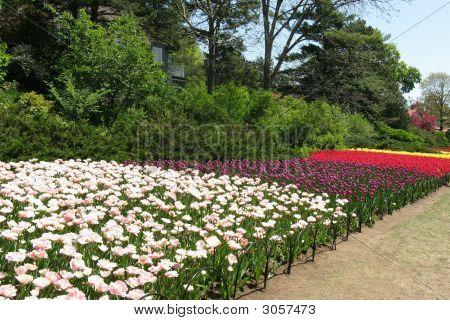 A Burst Of Tulip Colour
