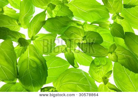 Fresh Basil Leaves close-up background / back-lit