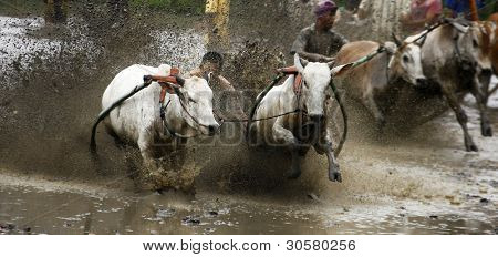 SUMATERA, INDONESIA - FEBRUARY 11: Two village teams take part in a bull race called pacu jawi on February 11, 2012 in Tanah Datar, West Sumatera, Indonesia. It is a celebration held after a rice harvest season.