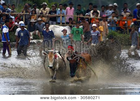 SUMATERA, INDONESIA - FEBRUARY 11: A jockey astride a harness strapped to the bulls takes part in a bull race called pacu jawi on Feb 11, 2012 in West Sumatera, Indonesia. It is held after a rice harvest season.