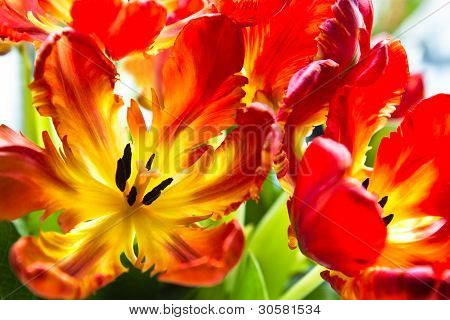 Parrot Tulips With Backlight