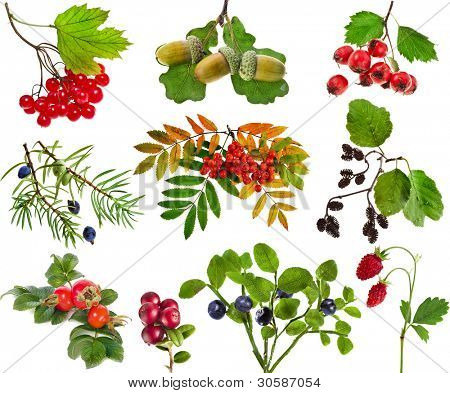 Collection of wild forest berries plants fruits  isolated on white background
