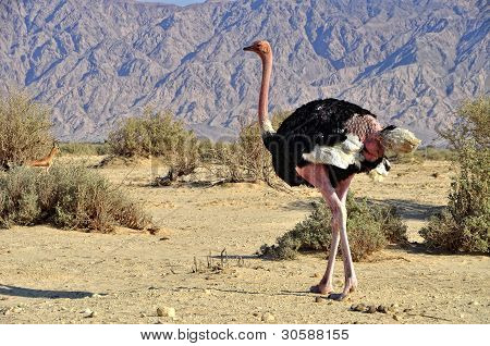African ostrich  in Hai Bar national reserve,Eilat, Israel