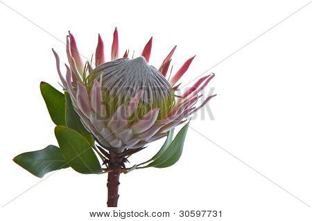 Protea  Sugarbush Isolated On White Background