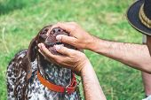 The Man Checks The Condition Of The Teeth Of The Dog Breed German Shorthaired Pointe On The Exhibiti poster
