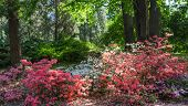 Rhododendron Plants In Bloom With Flowers Of Different Colors. Azalea Bushes In The Park With Differ poster