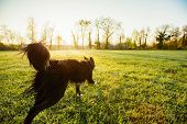 A Purebred Border Collie Dog Without Leash Running Outdoors In Nature In Beautiful Sunrise. Dog Play poster