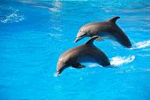 foto of oceanography  - Two dolphin jumping in Durban - JPG
