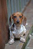 Dachshund Puppy Portrait Stone Background Day Light poster