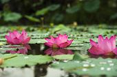 Royalty High Quality Free Photo Image Of A Pink Lotus Flower. Pink Lotus Is On Middle Pond Of Lotus  poster