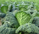 picture of hlorofil  - green kale - JPG