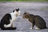 The Cat Meows On Another Cat Preparing To Fight poster