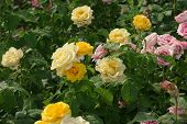 Closeup Of Yellow Fading Roses In Garden poster