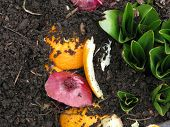 stock photo of rich soil  - Composted fruits and vegetables mix with soil beside springtime autumn crocus leaves - JPG