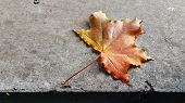 Bright Colorful Maple Leaf With Rough Gray Cement Surface Background. Single Fall Leaf Closeup. Oran poster