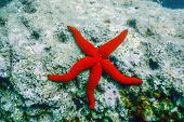 Red Starfish On The Sea Floor (echinaster Sepositus) Underwater poster