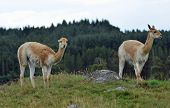 Vicuna - Grazing On Hill In Enclosure poster