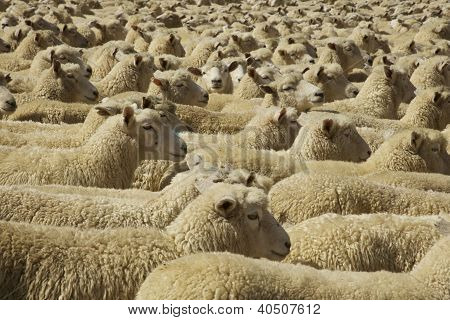 Penned up Flock of Sheep