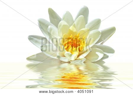 Lotus With Water