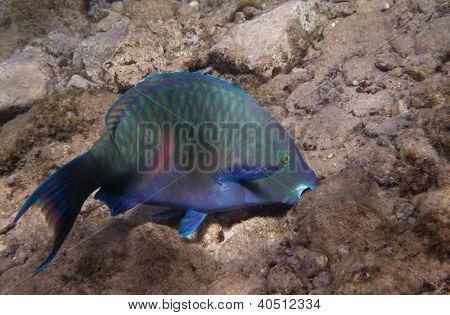 Dusky Parrotfish Is Underwate