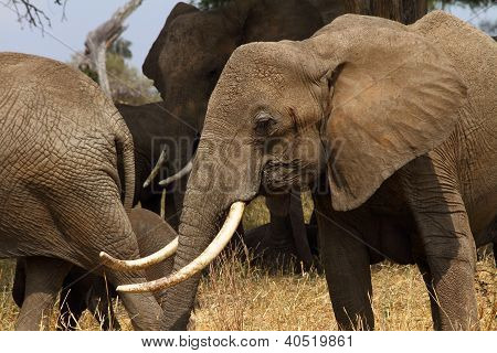 Large Tusked African Bush Elephant Head Shot