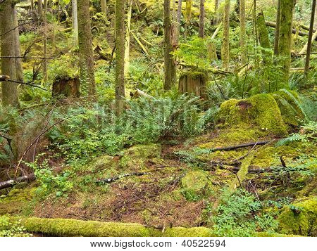 Lush green secondary rainforest grove in BC Canada