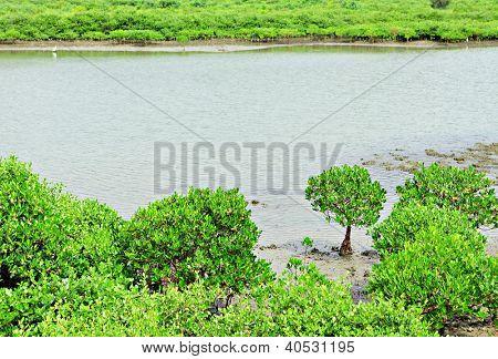 Red Mangroves in Hong Kong
